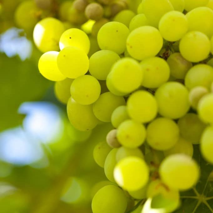 grapes_Gkmh37cd
